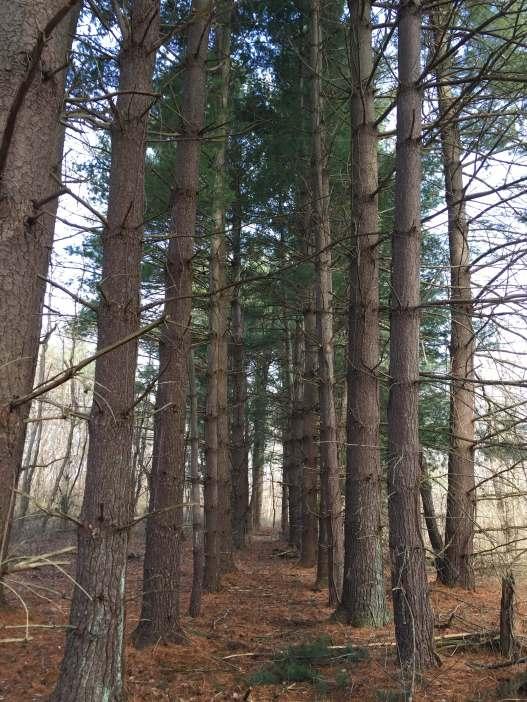 pine tree forest nowata farm